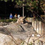 横浜市立金沢動物園でアミメキリンの子どもを見た。